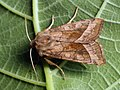 Hydraecia micacea - Rosy rustic - Совка лиловатая яровая (26258241417).jpg