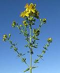 Hypericum perforatum flowerhead3 (14632481515).jpg