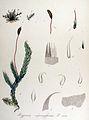 Hypnum cupressiforme — Flora Batava — Volume v14.jpg
