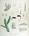 Hypnum purum — Flora Batava — Volume v14.jpg