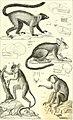 Iconographie du règne animal de G. Cuvier, ou, Représentation d'après nature de l'une des espèces les plus et souvent non encore figurées de chaque genre d'animaux - avec un texte descriptif mis au (14784675002).jpg