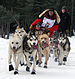 sled dogs at Iditarod Trail Sled Dog Race