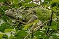 Iguana (18903057328).jpg