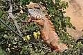 Iguana (400926266).jpg