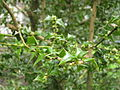 Ilex pernyi close up.JPG