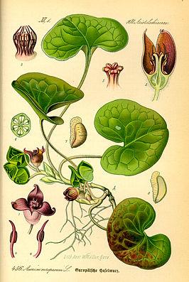 Gewöhnliche Haselwurz (Asarum europaeum), Illustration