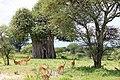 Impalas ^ Baobab - panoramio.jpg
