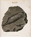 Impression of fishes on black schistose slate found at Isleb Wellcome V0023176.jpg