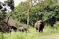 Ind elephant.jpg