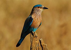 Indian Roller Bandhavgarh.jpg