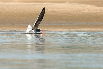 Indian skimmer - An Indian skimmer seen skimming for food in the River Chambal near Dholpur, Rajasthan.