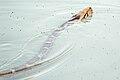 Indian python Python molurus (2154438195).jpg