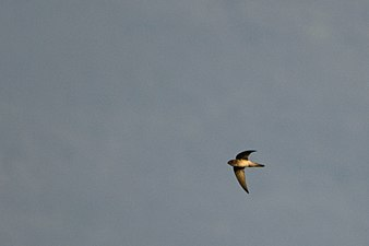Indian swiftlet or Indian edible-nest swiftlet (Aerodramus unicolor) from Anaimalais 2.jpg