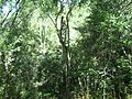 Indigenous afrotemperate forest at Newlands Cape Town 10.jpg