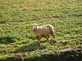 Inquisitive ewe - Powderham - geograph.org.uk - 1569444.jpg
