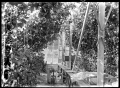 Interior of a glasshouse, with grape vines laden with fruit, and fruiting tomato plants, owned by Walter Percival at Otaki ATLIB 311629.png