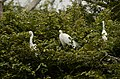 Intermediate Egret Ardea intermedia from Ranganathittu Bird Sanctuary JEG4290.JPG