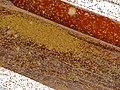 Invasion of Mopane Psyllids (Retroacizzia mopanei) (11802608465).jpg