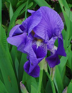 Iris germanica 001.jpg