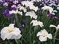 Irises in Lake Kagurame 05.jpg