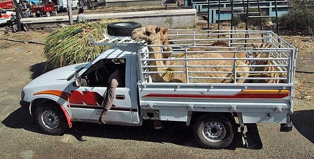 File:Isuzu TFR Egypt with camel.jpg - Wikimedia Commons