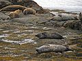 It's such a hard life being a seal^ - geograph.org.uk - 1498851.jpg