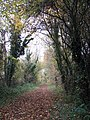 Ivy-clad trees lining the path - geograph.org.uk - 1044039.jpg