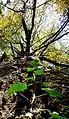 Ivy creeping up on unsuspecting tree.JPG