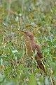 Ixobrychus cinnamomeus (2).JPG