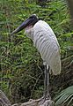 Jabiru - Jabiru mycteria, Belize Zoo, Belize.jpg