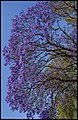 Jacaranda against blue sky-1 (21775580508).jpg