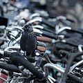 Jackdaw on bicycle handle bars Bustation Amsterdam Sloterdijk 2016-09-12-6540.jpg
