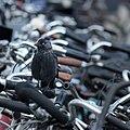 Jackdaw on bicycle handle bars Bustation Amsterdam Sloterdijk 2016-09-12-6540.jpg