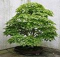 Japanese Maple (Acer palmatum) (3503960987).jpg