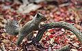 Japanese Squirrel edited version.jpg