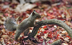 Japanese Squirrel edited version.jpg