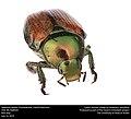 Japanese beetle (Scarabaeidae, Popillia japonica) (28401309315).jpg