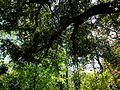 Jardí Botànic de València, alzina.JPG