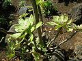 Jardín canario 31.JPG