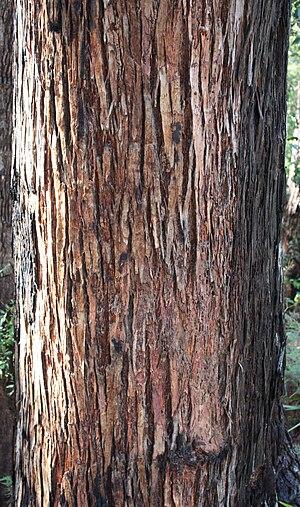 Eucalyptus marginata - Bark