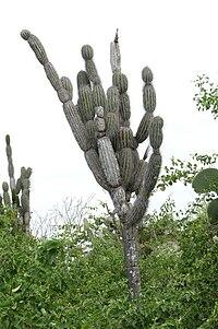 Jasminocereus thouarsii var. delicatus 2.jpg