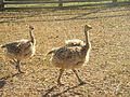 Jasnogorodka ostrich farm3.jpg