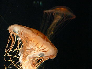 English: Jellyfish in the New England Aquarium...
