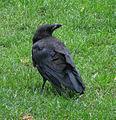 Jielbeaumadier corneille noire 1 paris 2014.jpeg