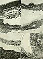 Journal of morphology (1912) (14598014540).jpg