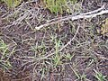 Juncus . planifolius R.Br. (AM AK296379-2).jpg