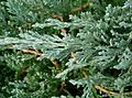 Juniperus chinensis6.jpg