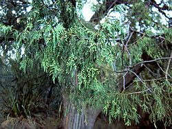 Juniperus flaccida Big Bend NP.jpg