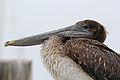 Juvenile Brown Pelican.jpg