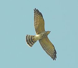 Juvenile Chinese Sparrowhawk in flight.JPG